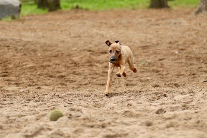 Italianvinttikoiran pentu juoksee koirapuistossa.